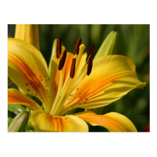 Majestic Orange and Yellow Lily Flower Postcard