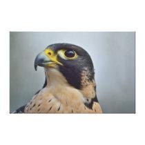 Majestic Peregrine falcon Canvas Print