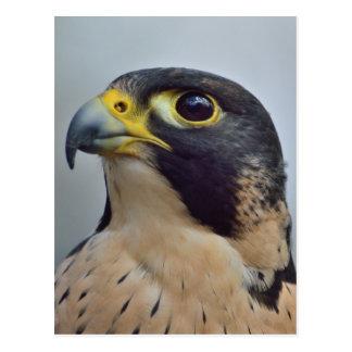 Majestic Peregrine falcon Postcard