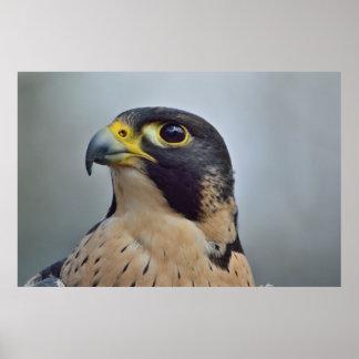 Majestic Peregrine falcon Poster