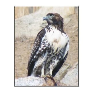 Majestic Red-tailed Hawk Wrapped Canvas Canvas Print