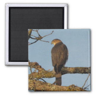 Majestic Sharp Shinned Hawk Magnet 2 Inch Square Magnet