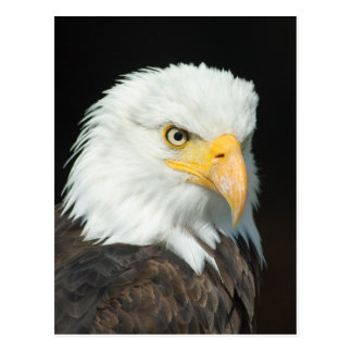 Majestic white and brown Bald Eagle posing Postcard