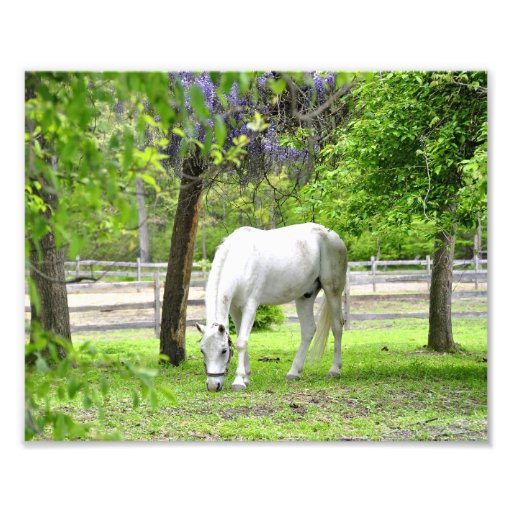 Majestic White Horse Photographic Print