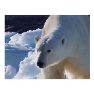 Majestic wild Polar bear Postcard