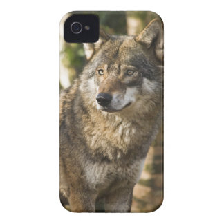Majestic Wolf Picture iPhone 4 Case