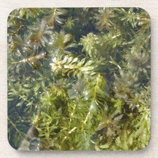 "Mala hierba de charca (o, ""charca enorme Plantlife Posavasos"