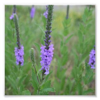 Mala hierba púrpura del palillo en un campo cojinete