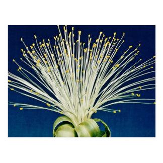 Malabar chestnut pachira aquatica flowers postcard