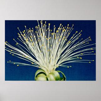 Malabar chestnut pachira aquatica flowers poster