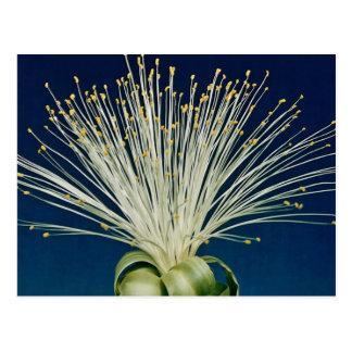 Malabar chestnut pachira aquatica post cards