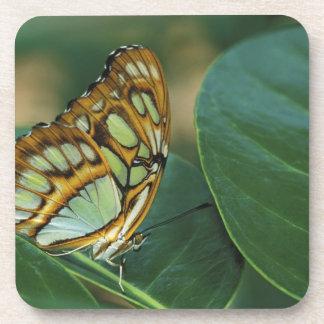 Malachite Butterfly, Siproeta stelenes, Drink Coasters