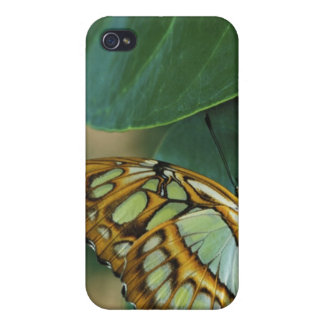 Malachite Butterfly, Siproeta stelenes, iPhone 4/4S Case