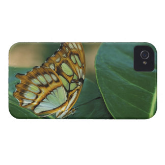 Malachite Butterfly, Siproeta stelenes, iPhone 4 Case