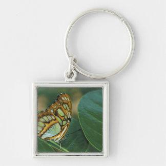 Malachite Butterfly, Siproeta stelenes, Keychain