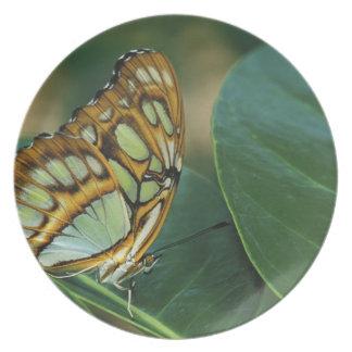 Malachite Butterfly, Siproeta stelenes, Dinner Plate