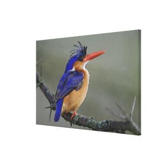 Malachite Kingfisher, Alcedo cristata, Lake Stretched Canvas Prints