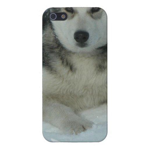 Malamute de Alaska lindo iPhone 5 Fundas