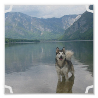 Malamute Dog Poster Print