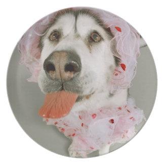 Malamute Dog Wearing a Tutu and Sticking Out Plate