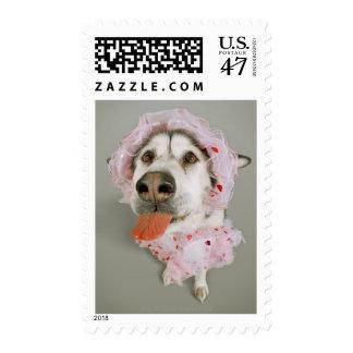 Malamute Dog Wearing a Tutu and Sticking Out Postage