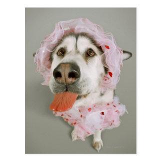 Malamute Dog Wearing a Tutu and Sticking Out Postcard