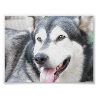 Malamutte dog pet in linen cloth poster