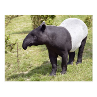 Malayan tapir on grass postcard
