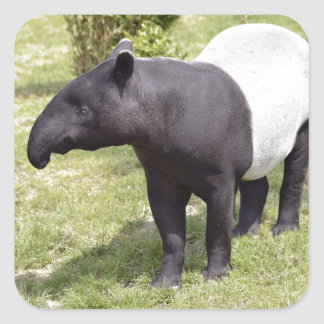 Malayan tapir on grass square sticker