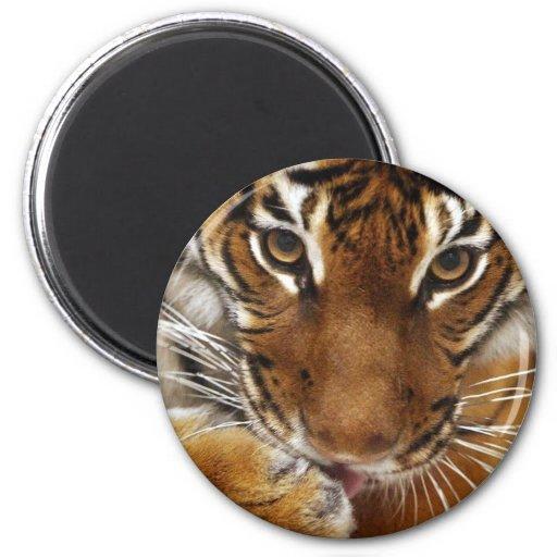 Malayan Tiger #1 magnet