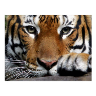 Malayan Tiger #3 postcard