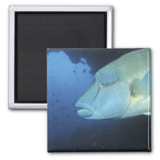 Maldives, Napoleanfish Chelinus undulatus) Magnet