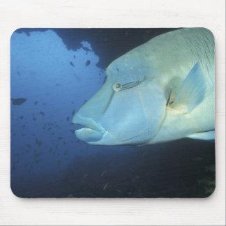 Maldives, Napoleanfish Chelinus undulatus) Mouse Pad