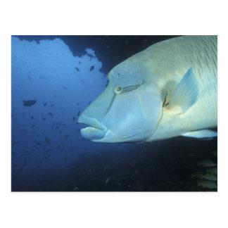 Maldives, Napoleanfish Chelinus undulatus) Postcard
