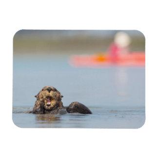 Male adult sea otter in Elkhorn Slough, California Magnet