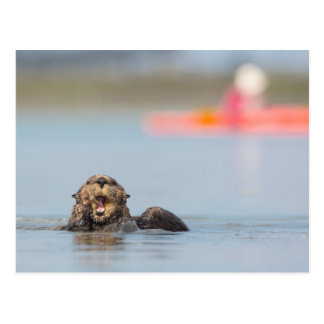 Male adult sea otter in Elkhorn Slough, California Postcard