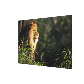 Male African lion at the zoo in Washington, D.C. 2 Canvas Print