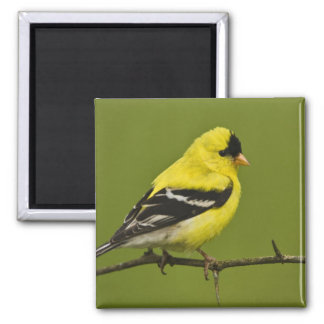 Male American Goldfinch in breeding plumage, 2 Inch Square Magnet