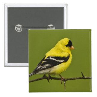 Male American Goldfinch in breeding plumage, 2 Inch Square Button