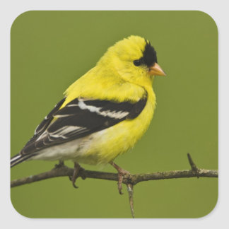 Male American Goldfinch in breeding plumage, Square Sticker