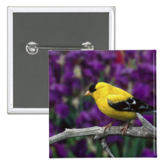 Male, American Goldfinch in summer plumage, 2 Inch Square Button