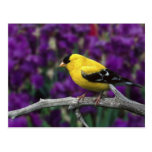 Male, American Goldfinch in summer plumage, Post Cards