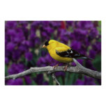Male, American Goldfinch in summer plumage, Print