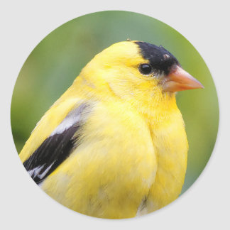 Male American Goldfinch on the Bamboo Classic Round Sticker