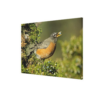Male American Robin eating juniper tree Canvas Print