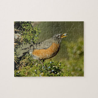 Male American Robin eating juniper tree Jigsaw Puzzle
