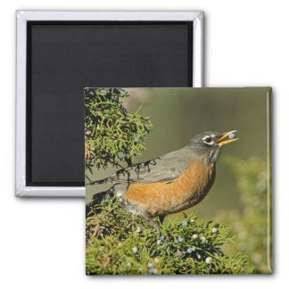 Male American Robin eating juniper tree 2 Inch Square Magnet