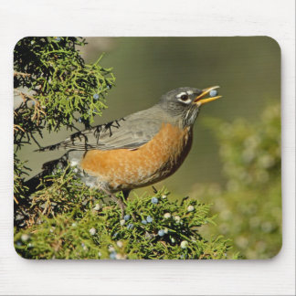 Male American Robin eating juniper tree Mouse Pad