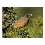 Male American Robin eating juniper tree Postcard
