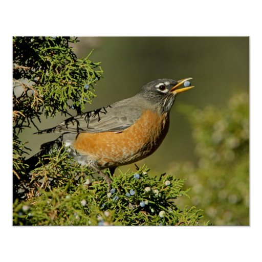 Male American Robin eating juniper tree Poster